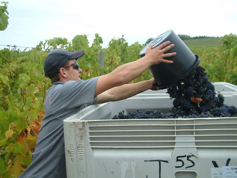 Pinot noir grapes shown here being harvested from Block 2 just above the house.