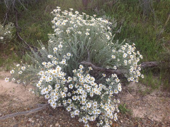 Wildflowers at Wilpena Pound Resort, Flinders Ranges
